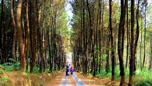 hutan-pinus-cikole-milik-perhutani