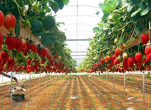 Kebun Strawberry Jawa Barat